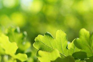 Oak leaves on green background