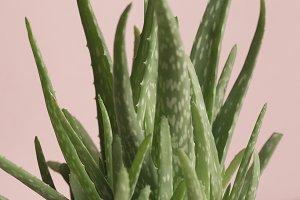 Aloe Vera Plant Pink Background