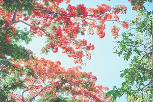 Beautiful red and pink flowering trees. summer time.