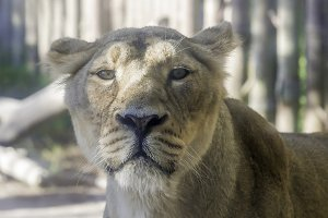 lioness of calm look