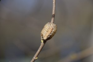 Ootheca mantis on the branches of a tree. The eggs of the insect laid in the cocoon for the winter are laid. Ooteca on a branch of hazelnut