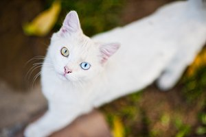 White cat with different colored eye