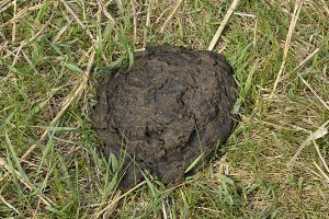 A cow cake in the grass. Manure of cattle.