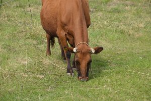 A cow is grazing in a meadow. Brown cow eating grass in the field.