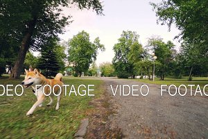 Dolly shot slow motion portrait of adorable dog shiba inu running in the park along the path then on green lawn enjoying nature and activity.