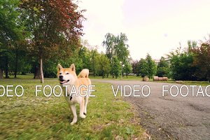 Slow motion portrait of cute shiba inu dog running in park enjoying fresh air and nature. Beautiful trees and lawns, busy city street with cars and buildings is visible.