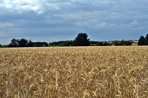 Field with ripe wheat before harvest