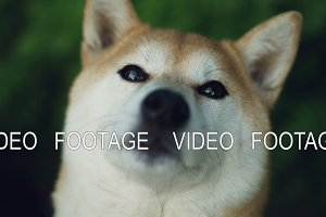 Close-up slow motion portrait of adorable dog shiba inu looking at camera and licking its mouth and nose with pink tongue. Animals and nature concept.