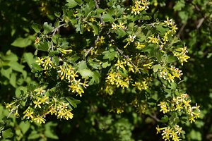 Flowering currant bush gold.
