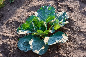Cabbage growing in garden. Fresh cabbage on soil