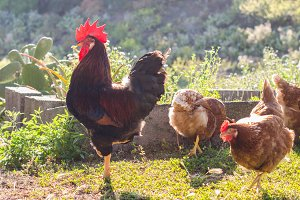 Rooster and hens on nature backgroun