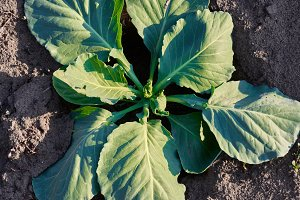Young cabbage growing in farm land field