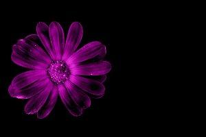 Purple flower isolated on black