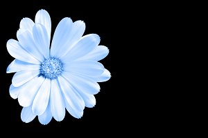 White and blue flower isolated on bl