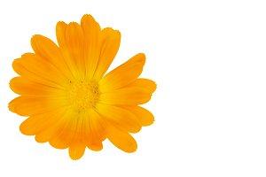 Calendula officinalis flowers isolat