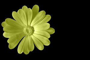 Yellow flower isolated on black