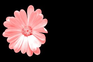 Pink flower isolated on black