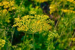 Yellow dill plant and flower as agri