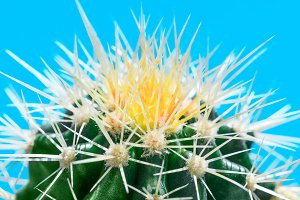 White and yellow thorns of cactus