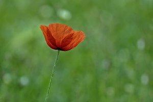 Little poppy