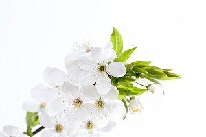 one cherry branch