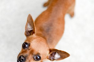 Small light brown chihuahua dog