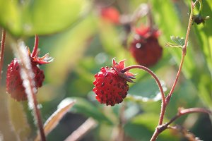 Red berry forest strawberries