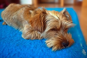 Sleeping puppy on blue blanket