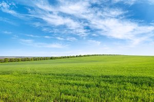 Green spring wheat field and blue sk