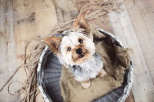 Yorkie Dog on vintage background