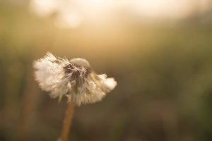 Dreamy dandelion macro on light gree