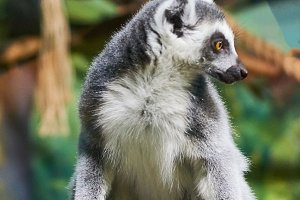 Live nature. Lemur