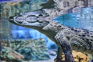 Live nature. Crocodile in the water