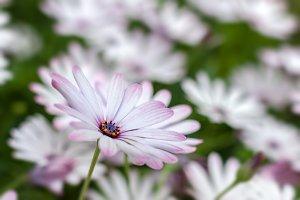 Purple and white daisies
