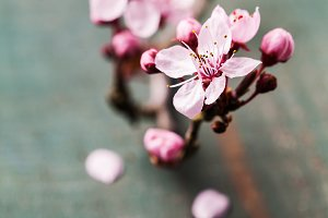 Cherry blossom flowers on wooden bac
