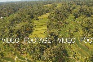 Terrace rice fields in Ubud, Bali