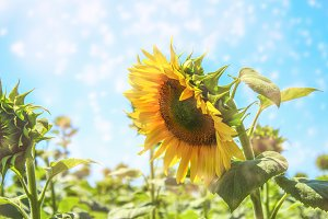 Sunflowers texture and background fo