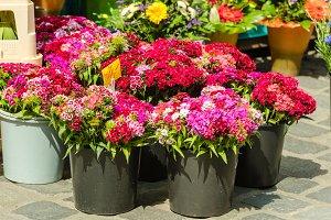 Beautiful carnation flowers at an eu