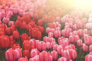 Multicolored tulips field in the Net