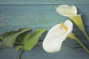 Calla lilies and leaves on blue back