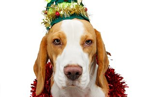 beautiful beagle dog in christmas tr