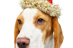 beautiful beagle dog in christmas ha