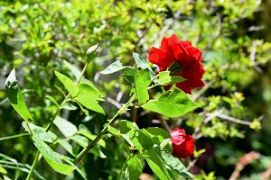 Red roses at garden