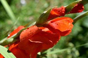 Bright gladiolus at garden