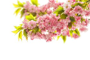 Blossoming of cherry tree