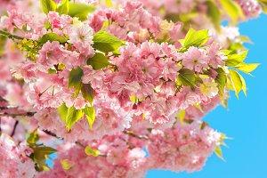 Cherry tree. Spring sakura flowers