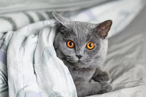Cute grey cat lying in bed