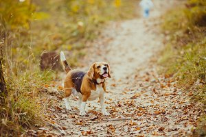 Beagle dog walking