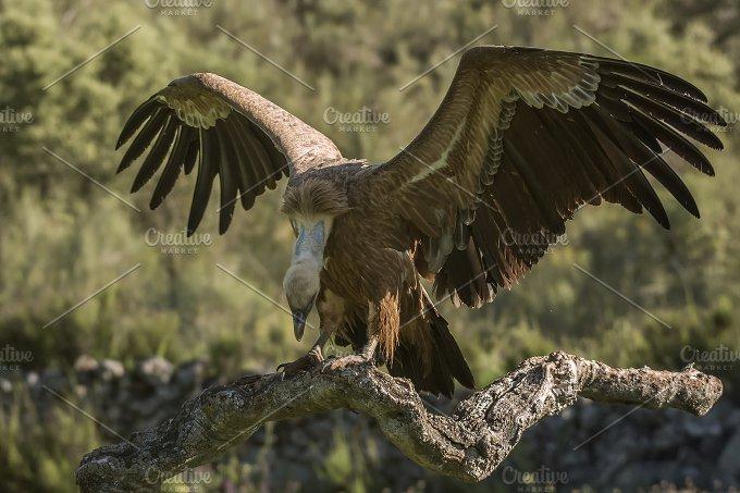 griffon vulture - Animals