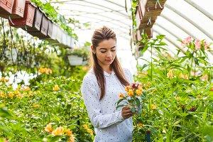 Care for flowers alstroemeria